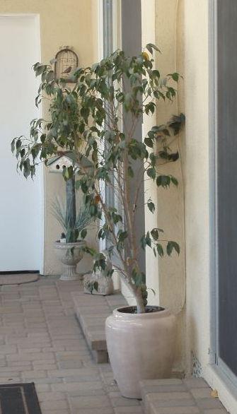 Ficus Tree Next to Bedrooms.JPG