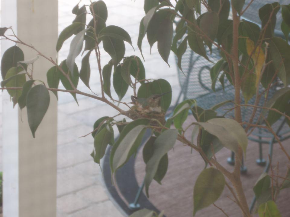 Hummingbird Brooding Egg on Nest.JPG