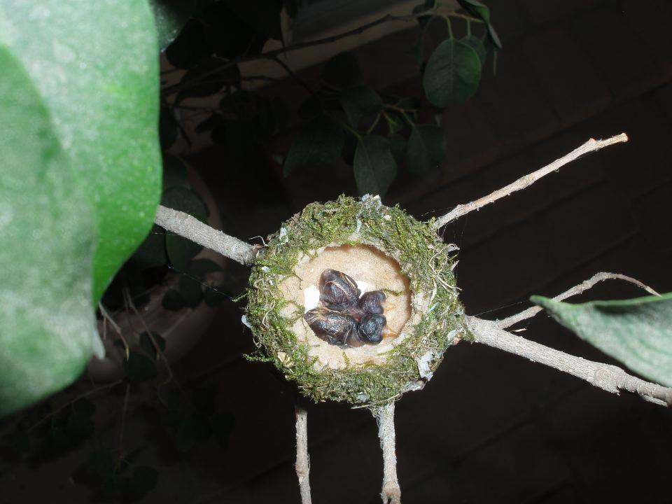 Hummingbird Hatchlings.JPG