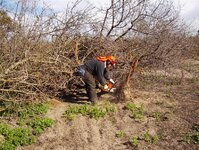 Cutting & loading the Almond trunks 001.jpg